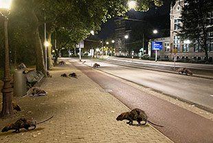 mauritskade-rat-ten